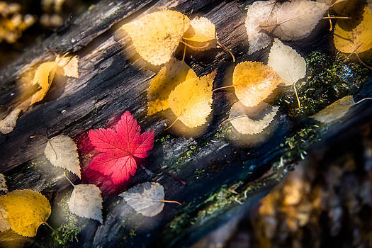 Autumn Leaves by Roger Clifford