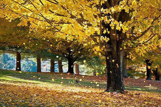 Autumn Maple Tree Fall Foliage - Wonderland by Dave Allen