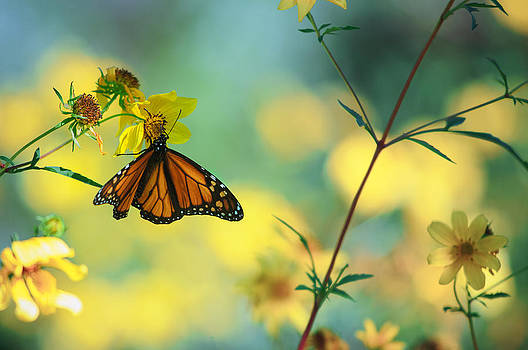 Autumn Monarch by Joel Olives
