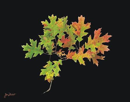 Joe Duket - Autumn Oak Leaves