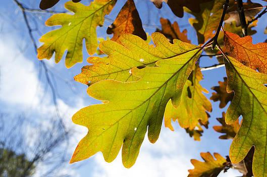 Autumn Oak by Paul Geilfuss