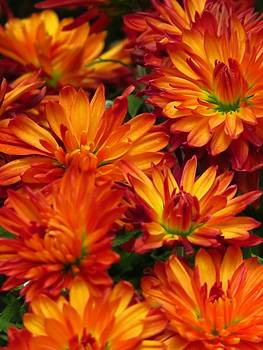 Autumn Orange Mums by Lori Frisch