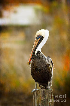 Autumn Pelican by Joan McCool