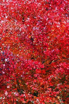 Carolyn Stagger Cokley - autumn red 2558