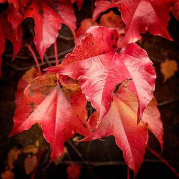 Chris Bordeleau - Autumn Red Ivy