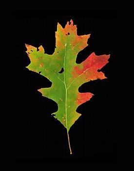 Joe Duket - Autumn Red Oak Leaf 1