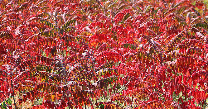 Autumn Sumac by James Hammen