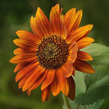 Autumn Sunflower by Liz Mackney