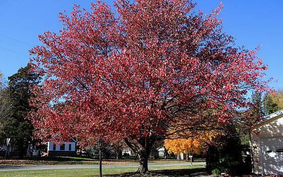 Autumn Tree by Carolyn Ricks