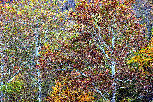 Autumn Trees by Leah Reynolds