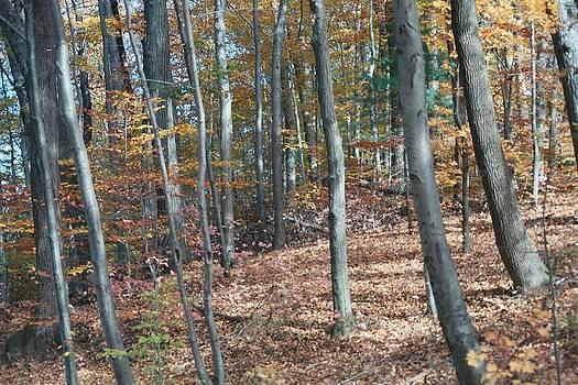 Autumn Woods by Don Pettengill
