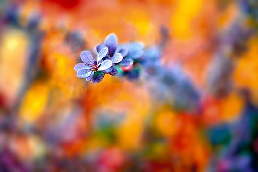 Autumnal Berberis by Tomasz Dziubinski