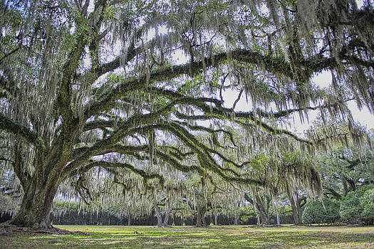 Avery Island Oak by Bonnie Barry
