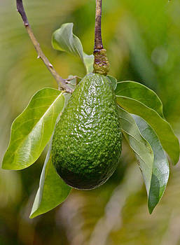 Venetia Featherstone-Witty - Avocado