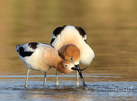 Avocet Love by Gary Michael Flanagan