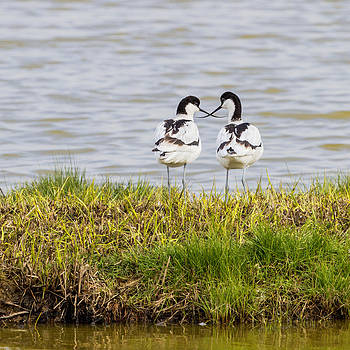 Avocets crossing beaks by Mr Bennett Kent