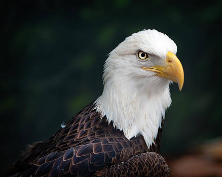 Awesome Eagle by Tammy Smith