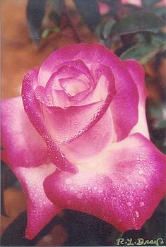 Awesome Rose Pristine by Robert Bray