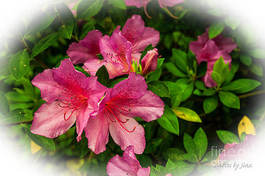 Azalea Blossoms by Jinx Farmer