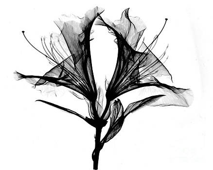 Bert Myers - Azalea Flower X-ray