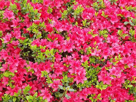 Shesh Tantry - Azaleas in Bloom I