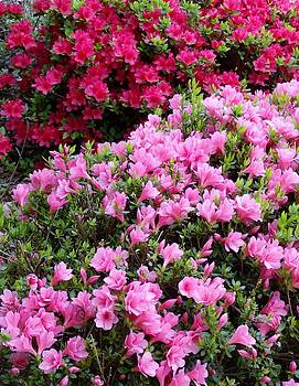 Shesh Tantry - Azaleas in Bloom IV