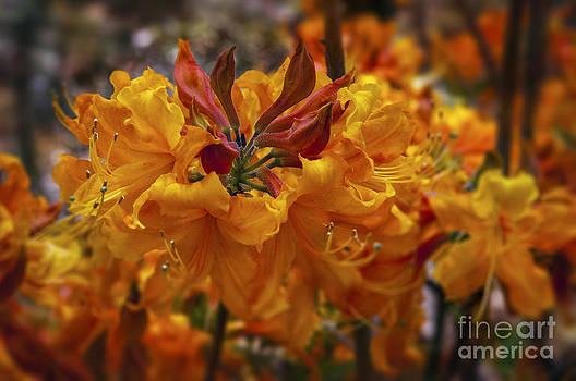Azaleas on Fire by Barbara Youngleson