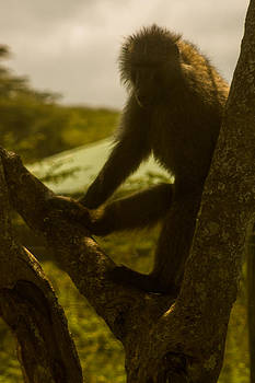 Baboon in Tree by Jennifer Burley
