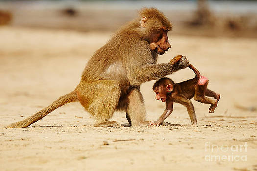 Nick  Biemans - Baboon with baby