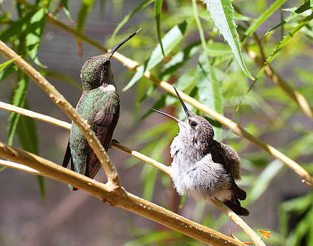 Baby Anna's Hummingbird Wanting Lunch by Old Pueblo Photography