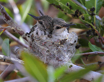 Baby Anna's Hummingbirds by Old Pueblo Photography