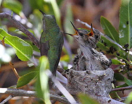 Baby Anna's Hummingbirds Wanting Lunch by Old Pueblo Photography
