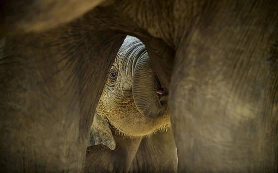 Paul W Sharpe Aka Wizard of Wonders - Baby Asian Elephant Feeding