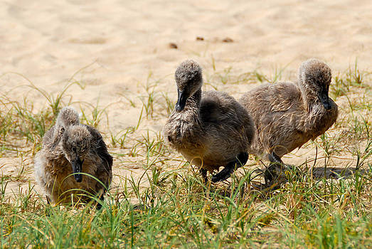 Baby Black Swans by Glen Johnson