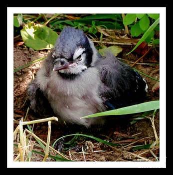 Gail Matthews - Baby Blue Jay
