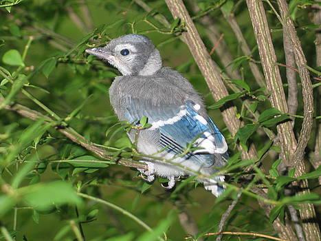 Baby Blue Jay by Kay Mathews