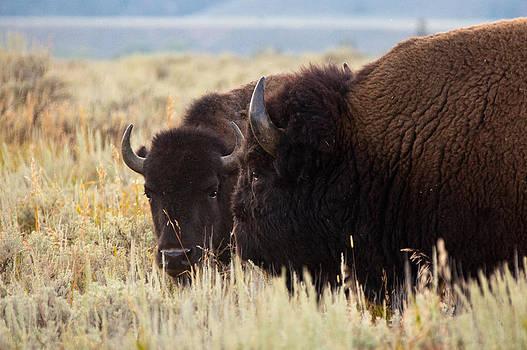 Baby Buffalo  by John Ferrante