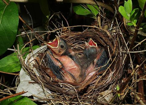Baby Cardinals 2 by Billy  Griffis Jr