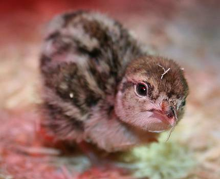 Baby Chukar by Rebecca Christine Cardenas