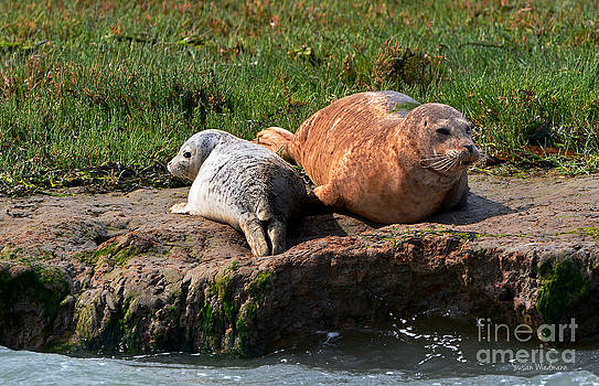 Susan Wiedmann - Baby Harbor Seal with Mother