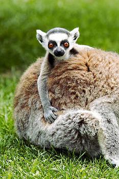 Baby lemur by Goyo Ambrosio