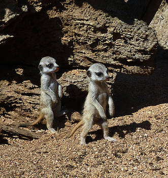 Margaret Saheed - Baby Meerkats Exploring Their World
