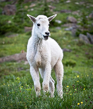 Baby Mountain Goat by Craig Brown