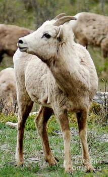 Gail Matthews - Baby Mountain Goat