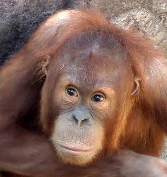Baby Orangutan by Loretta Orr