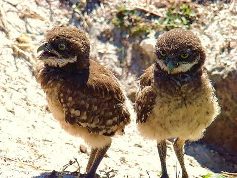 Baby Owls 2 by Van Ness