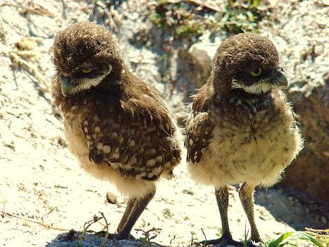 Baby Owls by Van Ness