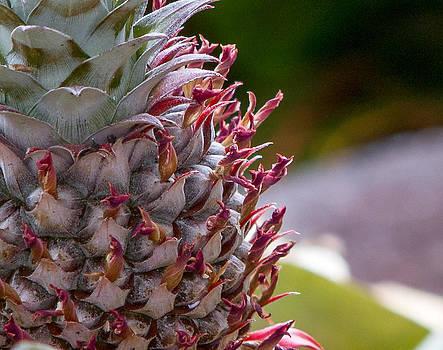 Baby White Pineapple by Denise Bird