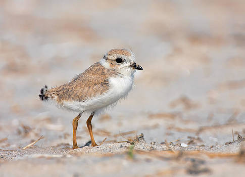 Baby Piping Plover by I Cale
