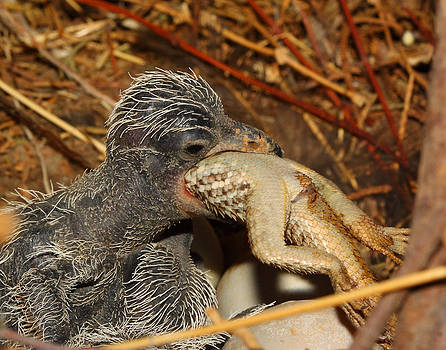 Baby Roadrunner Eating a Lizard by Old Pueblo Photography